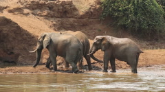 African elephants spraying mud, wildlife, Kruger National Park, South Africa Stock Footage