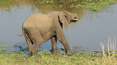 Elephant drinking water, wildlife safari, Kruger National Park, South Africa Stock Footage