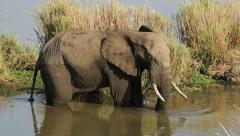 Feeding African elephant, wildlife safari, Kruger National Park, South Africa - stock footage