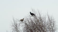 Black grouse feed on the tops of birches Stock Footage