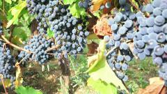 Black grape vineyard harvest, 4k dolly shot Stock Footage