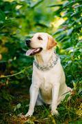 White Labrador Retriever Dog Sitting In Green Grass - stock photo