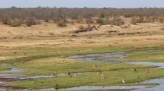 Impala antelopes in natural habitat, nature, Kruger National Park, South Africa Stock Footage
