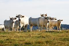 Cattle Herd Stock Photos