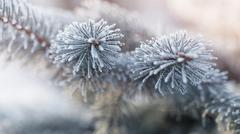 Stock Photo of fir branch in hoar frost on cold morning