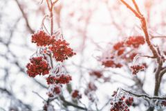 Rowan berries covered with frost Stock Photos