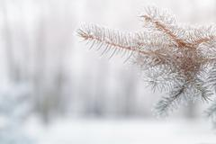 Fir branch in hoar frost on cold morning Stock Photos