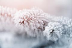 fir branch in hoar frost on cold morning - stock photo