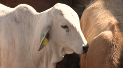 Cattle show 19 Stock Footage