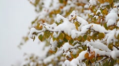 First Snowfall In Early Autumn. Birch Branch. Stock Footage