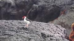 Stock Video Footage of Yellow-billed Cardinal, Hawaii feeding on sea life