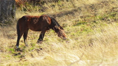 Horse, Foal Grazing in Mountain Pastures - stock footage