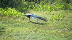 Stock Video Footage of Peacock in the wild