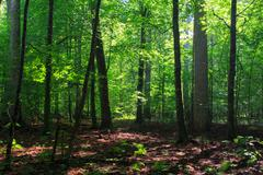 Shady deciduous stand of Bialowieza Forest in summer,Bialowieza Forest,Poland Stock Photos