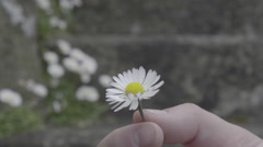 4K S-log 2 twisting daisy in fingers on summer day with stone wall Stock Footage