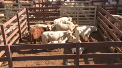 Cattle show 22 Stock Footage