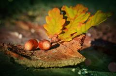 Branch with leaves and acorns Stock Photos