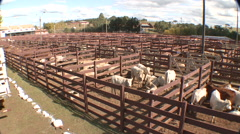 Cattle show 23 Stock Footage