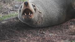 Stock Video Footage of Seal Roar