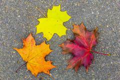 Closeup of Maple Leaves on Asphalt Stock Photos