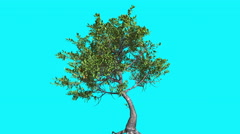 Red Mangrove Thin Tree With Green Leaves Is Swaying at The Wind Summer Computer Stock Footage