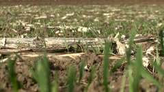 Field of sprouted young wheat Stock Footage