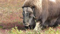 Bull Male Musk Ox Walking Across Tundra in the Fall Stock Footage