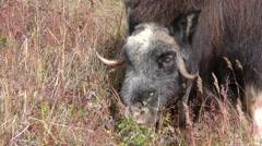 Musk Ox Feeding in Tundra Stock Footage