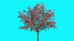 Peach Tree With Pink Flowers Thin Tree is Swaying at the Wind Springtime Stock Footage