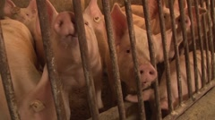 Pigs for fattening in piggery Stock Footage
