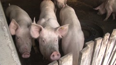 Fattening pigs in the pigsty Stock Footage