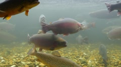 Underwater medium shot of trout in a fish hatchery Stock Footage