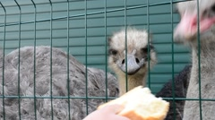 Hungry ostrich in zoo fed with bread through cage by visitors Stock Footage