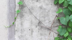 Wall Vines with Textured Wall. Stock Footage
