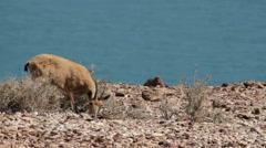 Nubian ibex Female Stock Footage