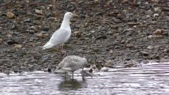 Gull Feeding on Salmon Carcass in Alaska Stock Footage