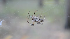 Insect closeup, spider on the web, seasonal environment. Stock Footage