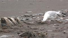 Gull on Beach in Alaska Feeding on Marine Mammal Carcass - stock footage