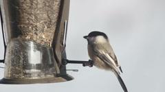 Chickadee on Birdfeeder Bird on Feeder - stock footage