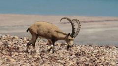Nubian ibex eating Stock Footage