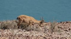 Female Nubian ibex Stock Footage