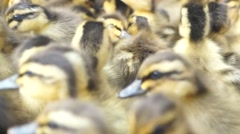 Group of cute little duck Stock Footage