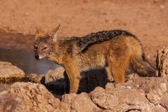Kgalagadi Jackal 4708 Stock Photos