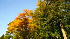 Stock Video Footage of Yellow Maple Autumn Leaves  in Aberdeen, Scotland UK