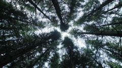 Looking up to the Tip of a Mature Spruce Tree Plantation - stock footage