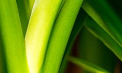 Macro image of fresh green leaves and stems of a healthy looking Yucca House  - stock photo