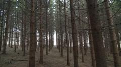 Mature Spruce Tree Plantation Stock Footage