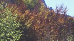 Autumn leaves fall from the trees in the red colors in slow motion Stock Footage