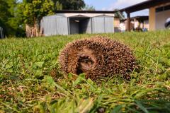 Stock Photo of European Hedgehog Mammal Animal