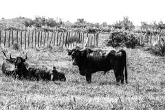 Stock Photo of Black bulls on a ranch in Camargue